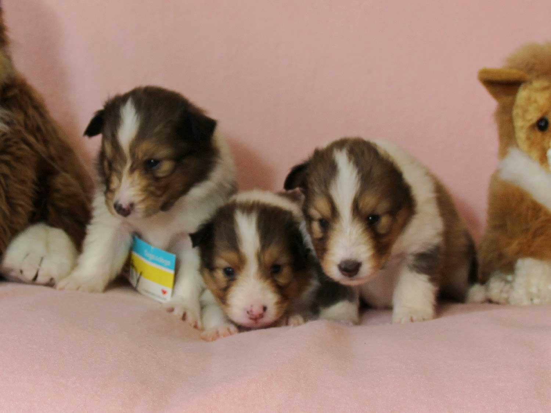 シェットランドシープドッグ(シェルティー、シェルティ)子犬販売情報、セーブル(セーブル&ホワイト)、女の子(牝、メス、Female)、2016年3月24日生れ、ID9791,ID9792,ID9793
