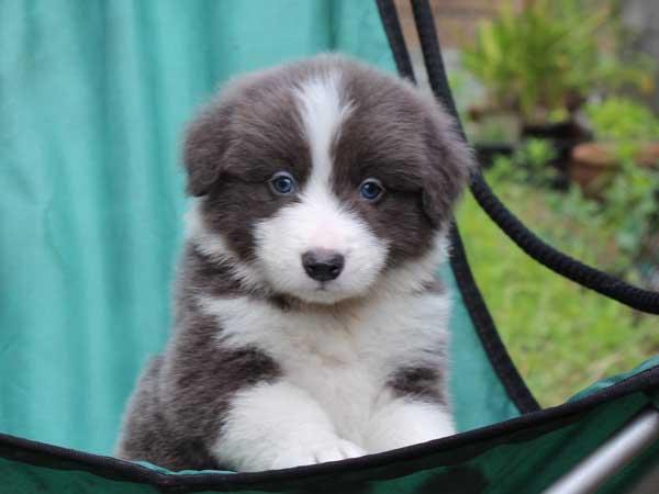 ボーダーコリー子犬販売、ブルー&ホワイト、男の子(オス)、2016年4月26日生れ、神奈川県ブリーダー、ID9949