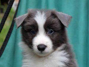 ボーダーコリー子犬販売、ブルー&ホワイト、男の子(オス)、2016年4月26日生れ、神奈川県ブリーダー、ID9950