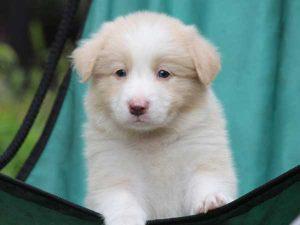ボーダーコリー子犬販売、レッド&ホワイト、男の子(オス)、2016年4月26日生れ、神奈川県ブリーダー、ID9951