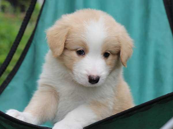 ボーダーコリー子犬販売、レッド&ホワイト、男の子(オス)、2016年4月26日生れ、神奈川県ブリーダー、ID9952