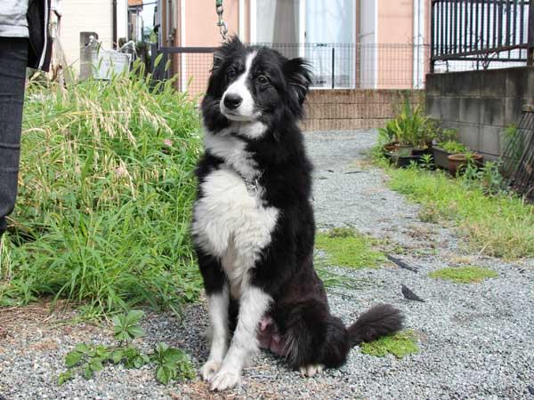 ボーダーコリー子犬販売、2016年4月26日生れ8頭兄弟姉妹、神奈川県ブリーダー、母犬、ブラック&ホワイト