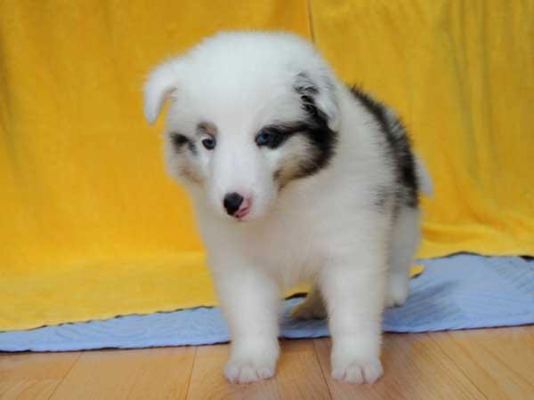 シェットランドシープドッグ(シェルティー、シェルティ)子犬販売情報、ブルーマール、男の子(オス、牡、Male)、2016年5月1日生れ、栃木県ブリーダー、ID9976