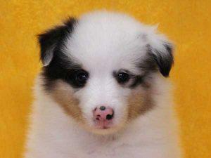 シェットランドシープドッグ(シェルティー、シェルティ)子犬販売情報、ブルーマール、女の子(メス、牝、Female)、2016年5月1日生れ、栃木県ブリーダー、ID9977