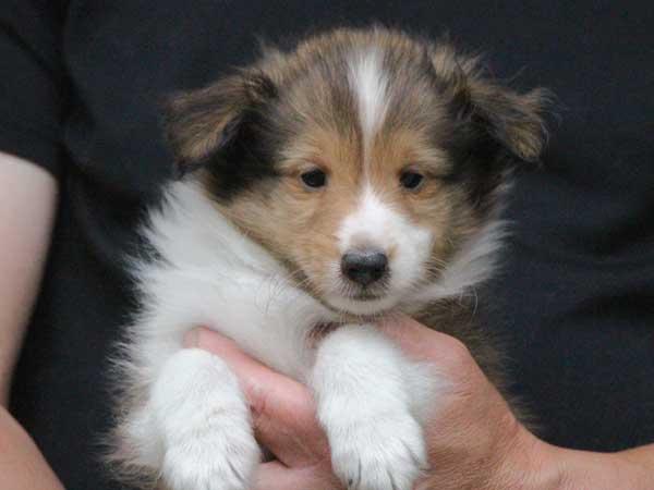 シェットランドシープドッグ(シェルティー、シェルティ)子犬販売情報、セーブル&ホワイト、男の子(オス、牡、Male)、2016年5月1日生れ、東京都ブリーダー、ID9987