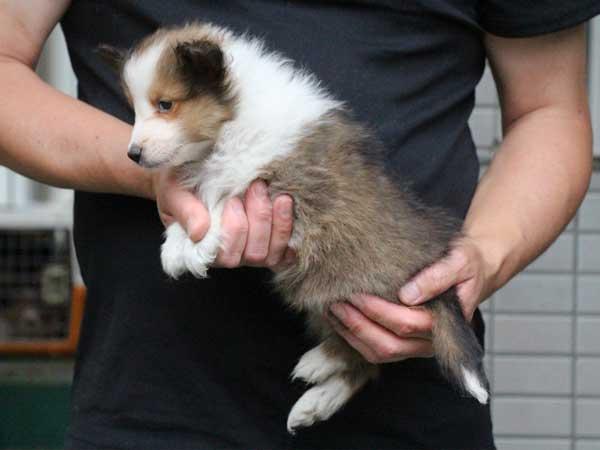 シェットランドシープドッグ(シェルティー、シェルティ)子犬販売情報、セーブル&ホワイト、男の子(オス、牡、Male)、2016年5月1日生れ、東京都ブリーダー、ID9988