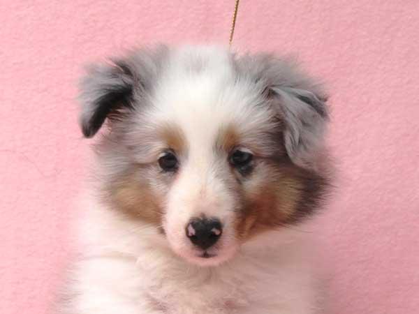シェットランドシープドッグ(シェルティー、シェルティ)子犬販売、男の子(オス)、ブルーマール、2016年5月1日生れ、神奈川県ブリーダー、ID10010