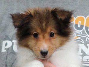 シェットランドシープドッグ(シェルティー、シェルティ)子犬販売情報、セーブル&ホワイト、女の子(メス、牝、Female)、2016年5月1日生れ、東京都ブリーダー、ID9989
