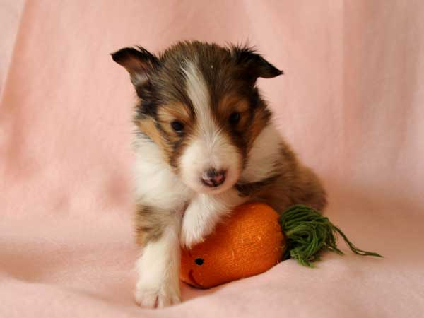 シェットランドシープドッグ(シェルティー、シェルティ)子犬販売情報、男の子(牡、オス、Male)、 セーブル&ホワイト(SBL:Sable)、2016年4月10日生れ、神奈川県ブリーダー、ID9884