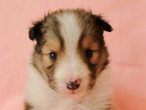 シェットランドシープドッグ(シェルティー、シェルティ)子犬里親募集、セーブル&ホワイト(SBL:Sable)、男の子(牡、オス、Male)、2016年4月10日生れ、神奈川県ブリーダー、ID9885
