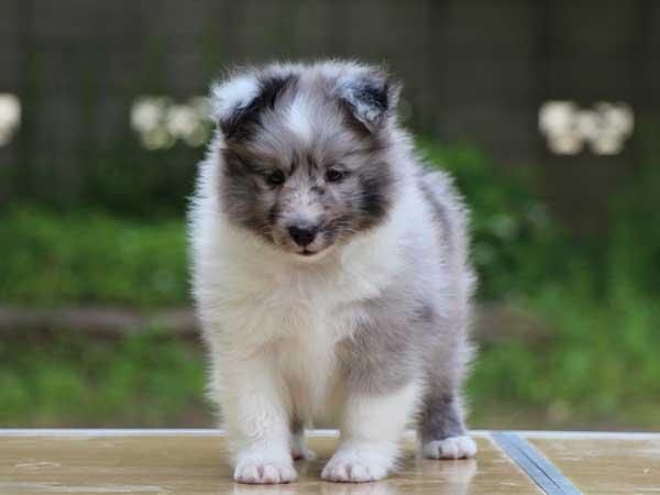 シェットランドシープドッグ(シェルティー、シェルティ)子犬販売情報、バイブルー(ブルーマール&ホワイト)、男の子(牡、オス、Male)、2016年4月5日生れ、東京都ブリーダー、ID9917