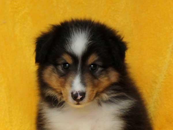 シェットランドシープドッグ(シェルティー、シェルティ)子犬販売情報、トライカラー(ブラック&ホワイト&タン)、男の子(牡、オス、Male)、2016年5月1日生れ、栃木県ブリーダー、ID9971