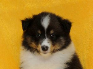 シェットランドシープドッグ(シェルティー、シェルティ)子犬販売情報、トライカラー(ブラック&ホワイト&タン)、男の子(牡、オス、Male)、2016年5月1日生れ、栃木県ブリーダー、ID9972