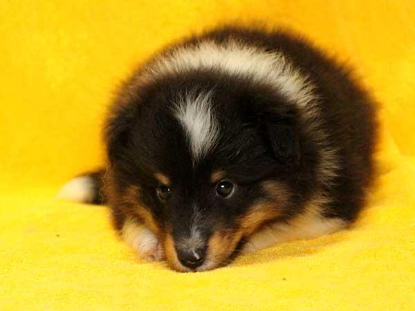 シェットランドシープドッグ(シェルティー、シェルティ)子犬販売情報、トライカラー(ブラック&ホワイト&タン)、男の子(オス、牡、Male)、2016年5月1日生れ、栃木県ブリーダー、ID9973