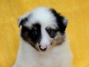 シェットランドシープドッグ(シェルティー、シェルティ)子犬販売情報、ブルーマール、男の子(オス、牡、Male)、2016年5月1日生れ、栃木県ブリーダー、ID9975