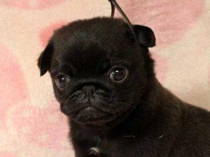 パグ子犬販売情報、男の子(牡、オス、Male)、ブラック(黒パグ)、2016年5月19日生れ、千葉県ブリーダー、ID10034