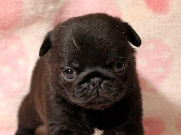 パグ子犬販売情報、男の子(牡、オス、Male)、ブラック(黒パグ)、2016年5月19日生れ、千葉県ブリーダー、ID10035