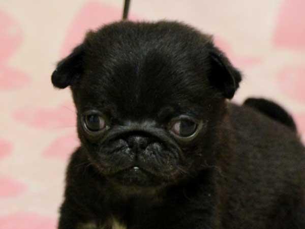 パグ子犬販売情報、男の子(牡、オス、Male)、ブラック(黒パグ)、2016年5月19日生れ、千葉県ブリーダー、ID10036