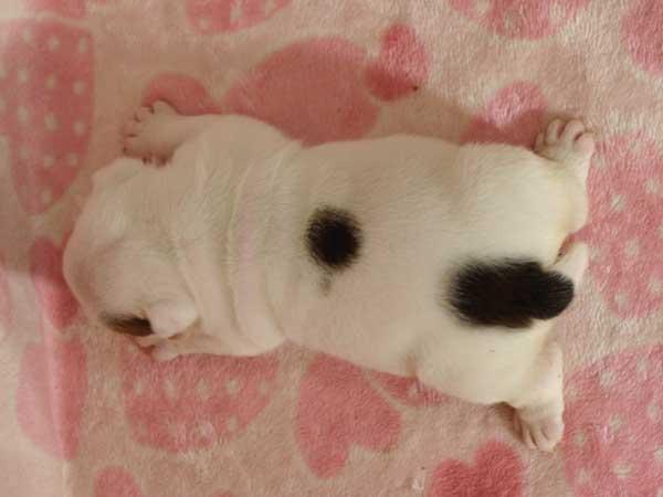 ブルドッグ子犬販売情報、男の子(牡、オス、Male)、ホワイト&ブラック、2016年6月3日生れ、千葉県ブリーダー、ID10037
