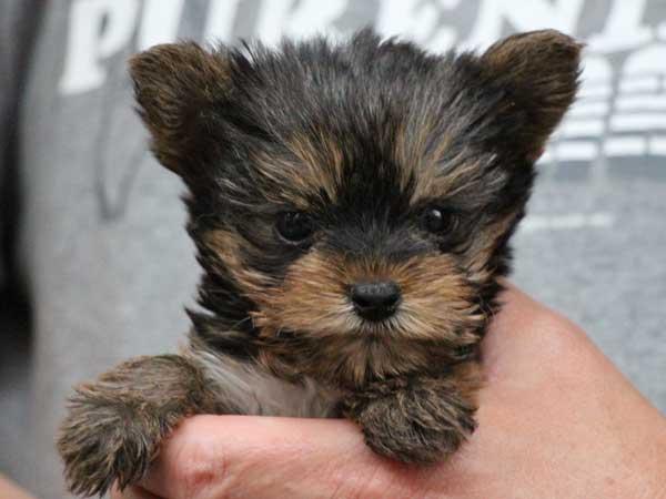 ヨークシャーテリア(ヨーキー)子犬販売情報、スチールブルー&タン、女の子(牝、メス、Female)、2016年5月7日生れ、東京都ブリーダー、ID10040
