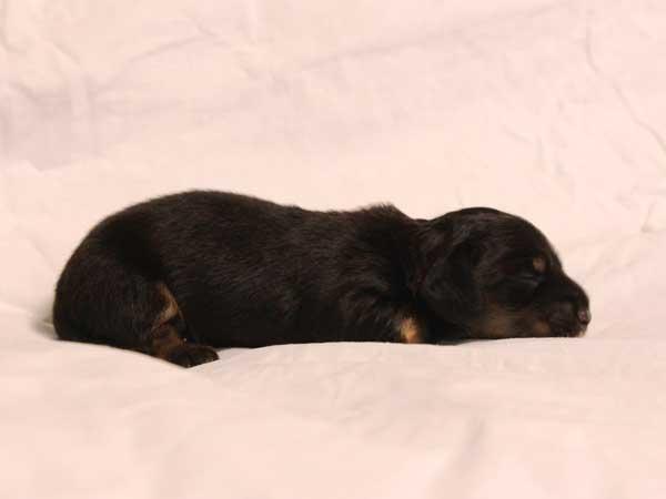 ミニチュアダックスフンド子犬販売情報、ロングヘアード、ブラック&クリーム、女の子(牝、メス、Female)、2016年6月25日生れ、東京都ブリーダー、ID10059