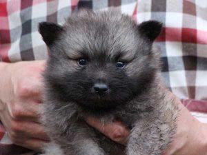キースホンド子犬販売情報、ウルフグレー、男の子(牡、オス、Male)、2016年7月13日生れ、東京都ブリーダー、ID10081
