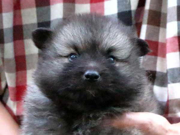 キースホンド子犬販売情報、ウルフグレー、女の子(牝、メス、Female)、2016年7月13日生れ、東京都ブリーダー、ID10082