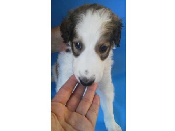 ボルゾイ子犬販売、ホワイト&ブラウン、女の子(牝、メス、Female)、2016年8月7日生れ、茨城県ブリーダー、ID10262