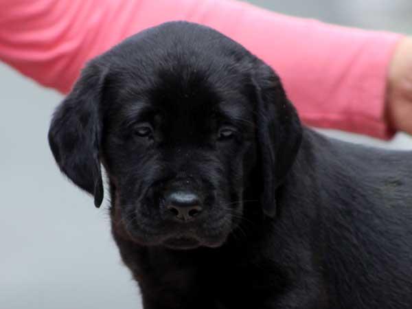 ラブラドールレトリーバー子犬販売、ブラック、男の子(牡、オス、Male)、2016年7月22日生れ、神奈川県ブリーダー、ID10280