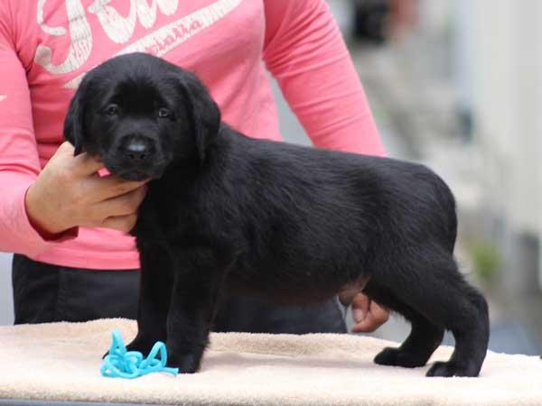 ラブラドールレトリーバー子犬販売、ブラック、男の子(牡、オス、Male)、2016年7月22日生れ、神奈川県ブリーダー、ID10281