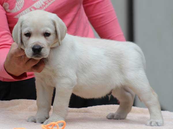ラブラドールレトリーバー子犬販売情報、男の子(牡、オス、Male)、イエロー、2016年7月22日生れ、神奈川県ブリーダー、ID10282