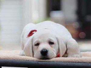 ラブラドールレトリーバー子犬販売情報、男の子(牡、オス、Male)、イエロー、2016年7月22日生れ、神奈川県ブリーダー、ID10283