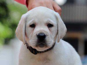 ラブラドールレトリーバー子犬販売情報、男の子(牡、オス、Male)、イエロー、2016年7月22日生れ、神奈川県ブリーダー、ID10284