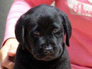 ラブラドールレトリーバー子犬販売情報、女の子(牝、メス、Female)、ブラック、2016年7月22日生れ、神奈川県ブリーダー、ID10285