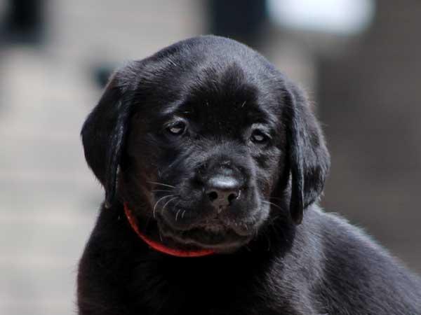 ラブラドールレトリーバー子犬販売情報、女の子(牝、メス、Female)、ブラック(黒ラブ)、2016年7月22日生れ、神奈川県ブリーダー、ID10286
