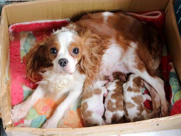 キャバリアキングチャールズスパニエル子犬販売情報、男の子(牡、オス、Male)、女の子(牝、メス、Female)、ブレインハイム、2016年9月22日生れ、神奈川県ブリーダー、ID10313、ID10314、ID10315