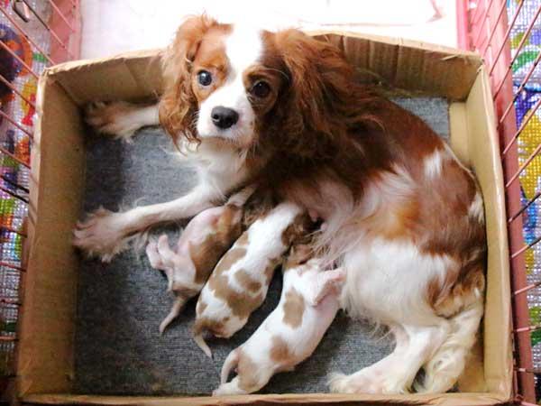 キャバリアキングチャールズスパニエル子犬販売情報、男の子(牡、オス、Male)、女の子(牝、メス、Female)、ブレインハイム、2016年9月19日生れ、神奈川県ブリーダー、ID10316、ID10317、ID10318