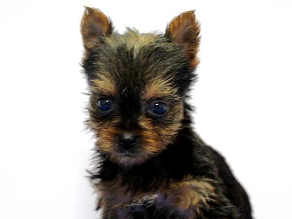 ヨークシャーテリア(ヨーキー)子犬販売情報、女の子(牝、雌、メス、Female)、スチールブルータン、2016年8月24日生れ、神奈川県ブリーダー、ID10326