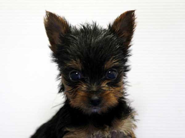 ヨークシャーテリア(ヨーキー)子犬販売情報、男の子(牡、雄、オス、Male)、スチールブルータン、2016年8月24日生れ、神奈川県ブリーダー、ID10328