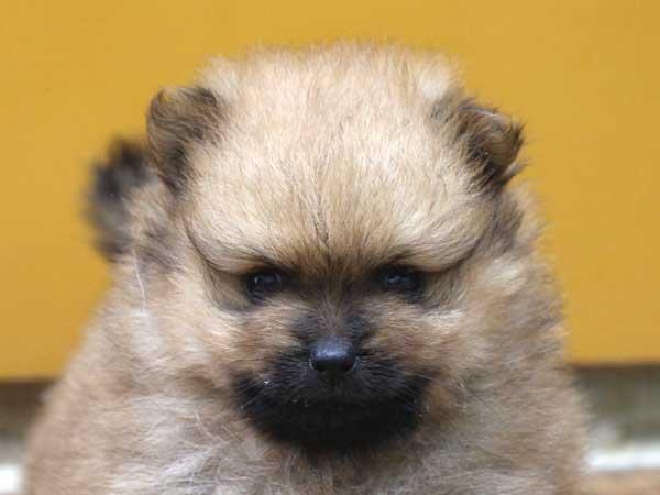 ポメラニアン子犬販売情報、男の子(牡、雄、オス、Male)、オレンジ、2016年9月1日生れ、神奈川県ブリーダー、ID10329