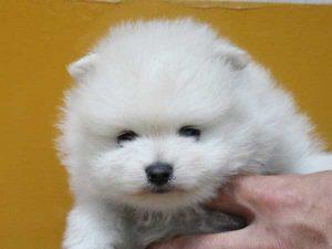 ポメラニアン子犬販売情報、男の子(牡、雄、オス、Male)、ホワイトに近いクリーム、2016年9月1日生れ、神奈川県ブリーダー、ID10330