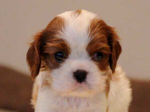 キャバリアキングチャールズスパニエル子犬販売情報、男の子(牡、オス、Male)、ブレインハイム、2016年9月19日生れ、神奈川県ブリーダー、ID10318