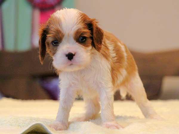 キャバリアキングチャールズスパニエル子犬販売情報、男の子(牡、オス、Male)、ブレインハイム、2016年9月19日生れ、神奈川県ブリーダー、ID10317