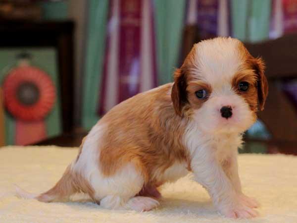 キャバリアキングチャールズスパニエル子犬販売情報、男の子(牡、オス、Male)、ブレインハイム、2016年9月19日生れ、神奈川県ブリーダー、ID10316