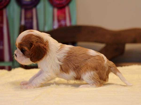 キャバリアキングチャールズスパニエル子犬販売情報、女の子(牝、メス、Female)、ブレインハイム、2016年9月22日生れ、神奈川県ブリーダー、ID10315