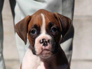 ボクサー子犬販売情報、女の子(牝、雌、メス、Female)、フォーン、2016年9月9日生れ、千葉県ブリーダー、ID10392