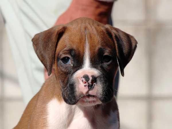 ボクサー子犬販売情報、男の子(牡、雄、オス、Male)、フォーン、2016年9月9日生れ、千葉県ブリーダー、ID10393