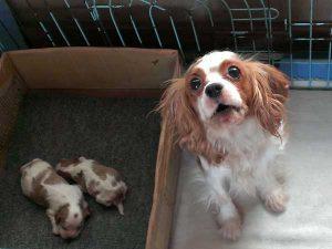 キャバリアキングチャールズスパニエル(キャバリア、キャバ)子犬販売、女の子(牝、雌、メス、Female)、ブレインハイム、2016年10月27日生れ、神奈川県ブリーダー、ID10433