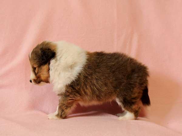 シェットランドシープドッグ(シェルティー、シェルティ)子犬販売、セーブル&ホワイト、男の子(牡、雄、オス、Male)、2016年10月15日生れ、神奈川県ブリーダー、ID10448