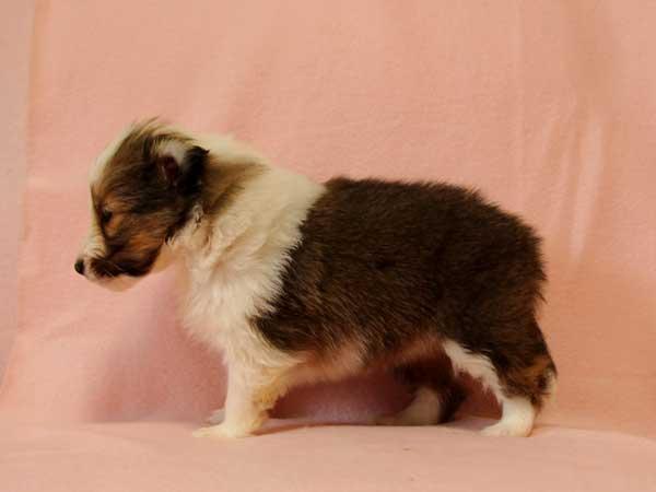 シェットランドシープドッグ(シェルティー、シェルティ)子犬販売、セーブル&ホワイト、女の子(牝、雌、メス、Female)、2016年10月15日生れ、神奈川県ブリーダー、ID10450